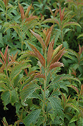 Crispa Spirea (Spiraea x bumalda 'Crispa') at Spruce It Up Garden Centre