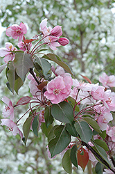 Selkirk Flowering Crab (Malus 'Selkirk') at Spruce It Up Garden Centre