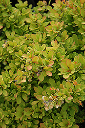 Sunsation Japanese Barberry (Berberis thunbergii 'Sunsation') at Spruce It Up Garden Centre