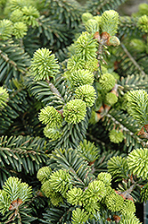 Dwarf Balsam Fir (Abies balsamea 'Nana') at Spruce It Up Garden Centre
