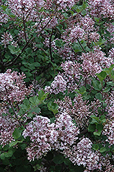 Dwarf Korean Lilac (Syringa meyeri 'Palibin') at Spruce It Up Garden Centre