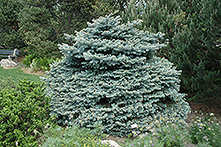 Montgomery Blue Spruce (Picea pungens 'Montgomery') at Spruce It Up Garden Centre