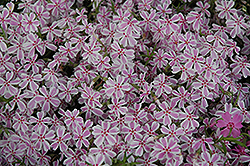 Candy Stripe Moss Phlox (Phlox subulata 'Candy Stripe') at Spruce It Up Garden Centre