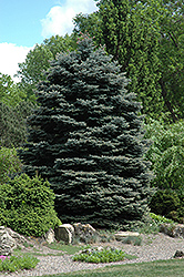 Fat Albert Blue Spruce (Picea pungens 'Fat Albert') at Spruce It Up Garden Centre