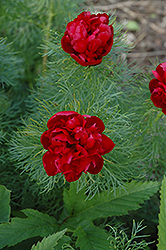 Double Fernleaf Peony (Paeonia tenuifolia 'Rubra Plena') at Spruce It Up Garden Centre