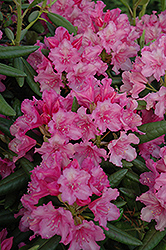 Hellikki Rhododendron (Rhododendron 'Hellikki') at Spruce It Up Garden Centre