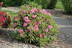 Haaga Rhododendron (Rhododendron 'Haaga') at Spruce It Up Garden Centre
