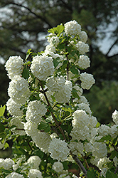 Snowball Viburnum (Viburnum opulus 'Roseum') at Spruce It Up Garden Centre