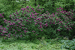 Charles Joly Lilac (Syringa vulgaris 'Charles Joly') at Spruce It Up Garden Centre