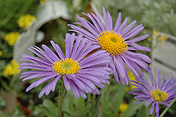 Goliath Alpine Aster (Aster alpinus 'Goliath') at Spruce It Up Garden Centre