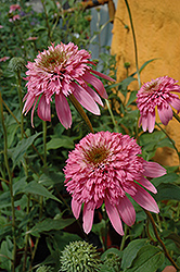 Razzmatazz Coneflower (Echinacea purpurea 'Razzmatazz') at Spruce It Up Garden Centre