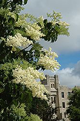 Ivory Silk Japanese Tree Lilac (Syringa reticulata 'Ivory Silk') at Spruce It Up Garden Centre