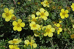 Gold Star Potentilla (Potentilla fruticosa 'Gold Star') at Spruce It Up Garden Centre