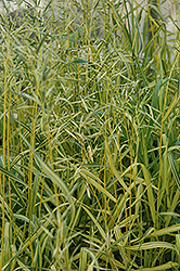 Skinner's Gold Brome Grass (Bromis inermis 'Skinner's Gold') at Spruce It Up Garden Centre