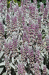 Lamb's Ears (Stachys byzantina) at Spruce It Up Garden Centre