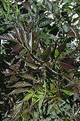 Guincho Purple Elder (Sambucus nigra 'Guincho Purple') at Spruce It Up Garden Centre