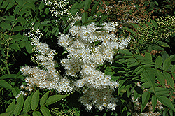 Aurora False Spirea (Sorbaria 'Aurora') at Spruce It Up Garden Centre