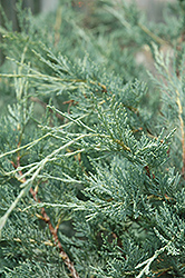 Moonglow Juniper (Juniperus scopulorum 'Moonglow') at Spruce It Up Garden Centre