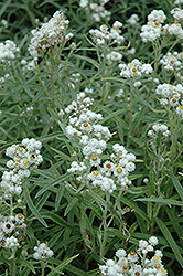 Pearly Everlasting (Anaphalis margaritacea) at Spruce It Up Garden Centre