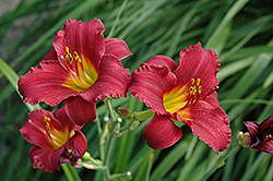 Ruby Stella Daylily (Hemerocallis 'Ruby Stella') at Spruce It Up Garden Centre