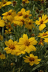 Tequila Sunrise Tickseed (Coreopsis 'Tequila Sunrise') at Spruce It Up Garden Centre