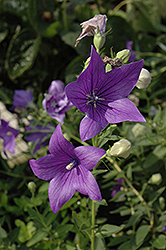 Maries Balloon Flower (Platycodon grandiflorus 'Mariesii') at Spruce It Up Garden Centre