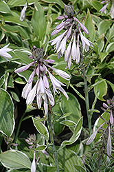 Francee Hosta (Hosta 'Francee') at Spruce It Up Garden Centre