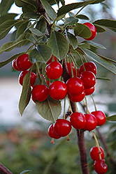 Evans Cherry (Prunus 'Evans') at Spruce It Up Garden Centre