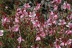 Butterfly Gaura (Gaura lindheimeri) at Spruce It Up Garden Centre