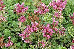 John Creech Stonecrop (Sedum spurium 'John Creech') at Spruce It Up Garden Centre