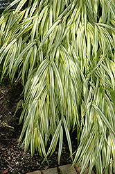 Golden Variegated Hakone Grass (Hakonechloa macra 'Aureola') at Spruce It Up Garden Centre