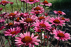Fatal Attraction Coneflower (Echinacea purpurea 'Fatal Attraction') at Spruce It Up Garden Centre