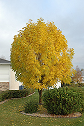 Mancana Manchurian Ash (Fraxinus mandshurica 'Mancana') at Spruce It Up Garden Centre