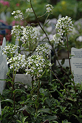Mountain Wall Cress (Arabis x sturii) at Spruce It Up Garden Centre