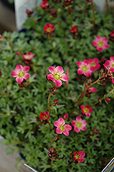 Red Form Saxifrage (Saxifraga x arendsii 'Highlander Red') at Spruce It Up Garden Centre