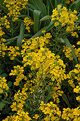 Citrona Yellow Wallflower (Erysimum 'Citrona Yellow') at Spruce It Up Garden Centre