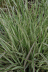 Variegated Reed Grass (Calamagrostis x acutiflora 'Overdam') at Spruce It Up Garden Centre