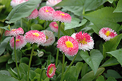 Bellisima Rose English Daisy (Bellis perennis 'Bellissima Rose') at Spruce It Up Garden Centre