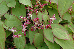 Bishop's Hat (Epimedium x rubrum) at Spruce It Up Garden Centre