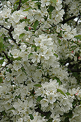 Donald Wyman Flowering Crab (Malus 'Donald Wyman') at Spruce It Up Garden Centre