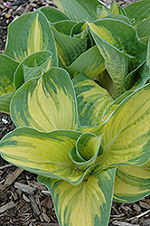 Great Expectations Hosta (Hosta 'Great Expectations') at Spruce It Up Garden Centre