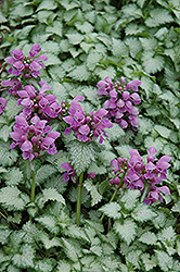 Orchid Frost Spotted Dead Nettle (Lamium maculatum 'Orchid Frost') at Spruce It Up Garden Centre