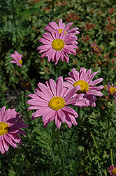 Robinson's Pink Painted Daisy (Tanacetum coccineum 'Robinson's Pink') at Spruce It Up Garden Centre