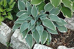 El Nino Hosta (Hosta 'El Nino') at Spruce It Up Garden Centre