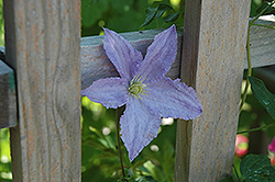 Blue Angel Clematis (Clematis 'Blue Angel') at Spruce It Up Garden Centre