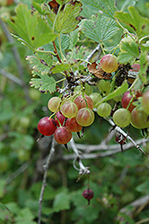 Pixwell Gooseberry (Ribes 'Pixwell') at Spruce It Up Garden Centre