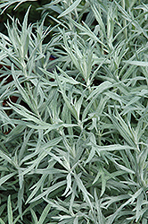 Siver Queen Artemesia (Artemisia ludoviciana 'Silver Queen') at Spruce It Up Garden Centre