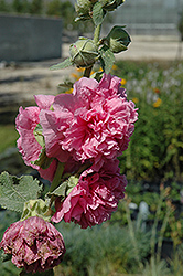 Chater's Double Pink Hollyhock (Alcea rosea 'Chater's Double Pink') at Spruce It Up Garden Centre