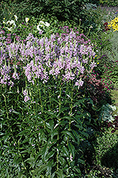 Obedient Plant (Physostegia virginiana) at Spruce It Up Garden Centre