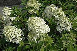 Little Lamb Hydrangea (Hydrangea paniculata 'Little Lamb') at Spruce It Up Garden Centre